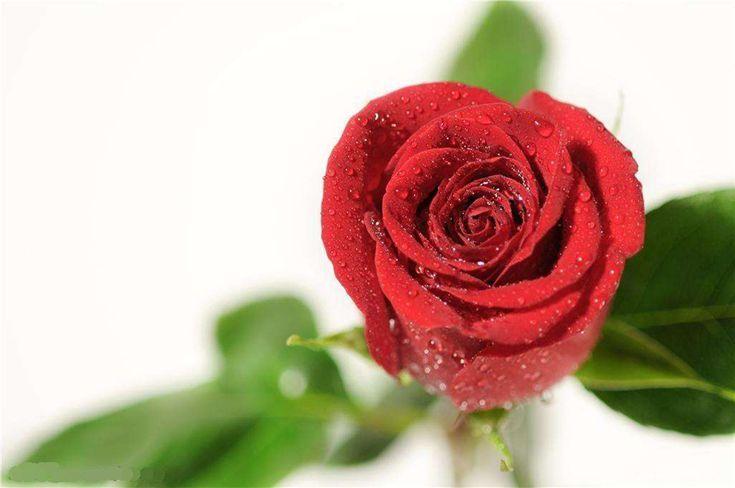 【真爱无价,玫瑰有情】新品告白